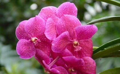 simvol-orhidei-1