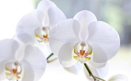 simvol-orhidei-3