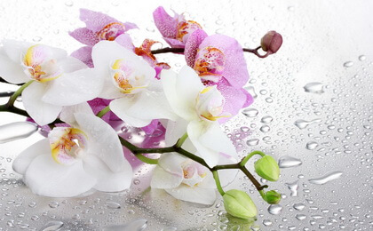 орхидеи для дома