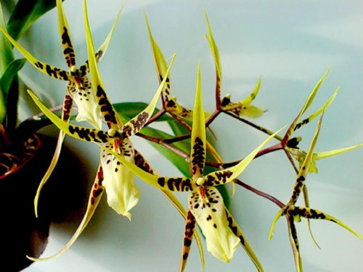 Основные роды орхидей 14