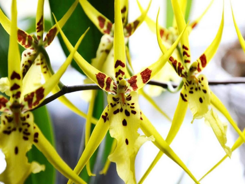 Основные роды орхидей 6