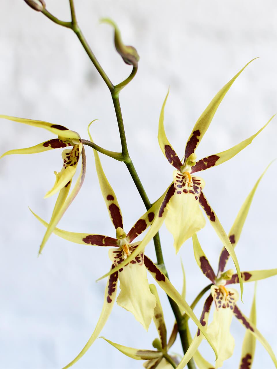Основные роды орхидей 10