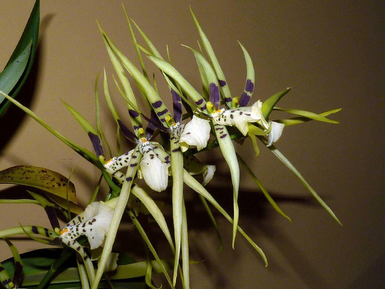 Основные роды орхидей 12