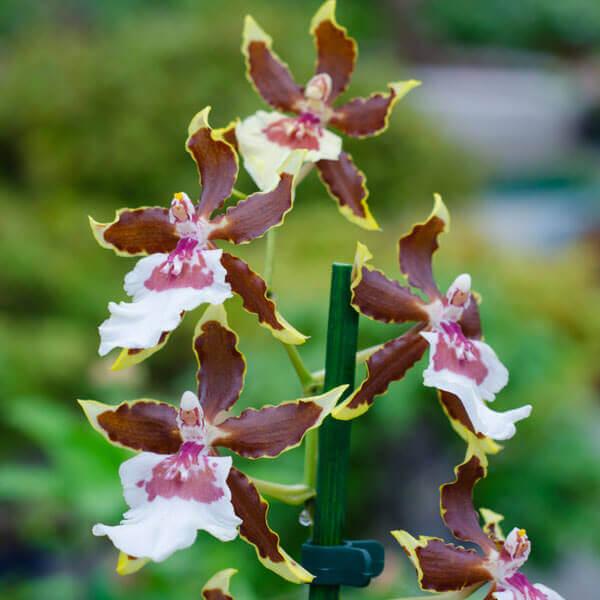 Основные роды орхидей 18
