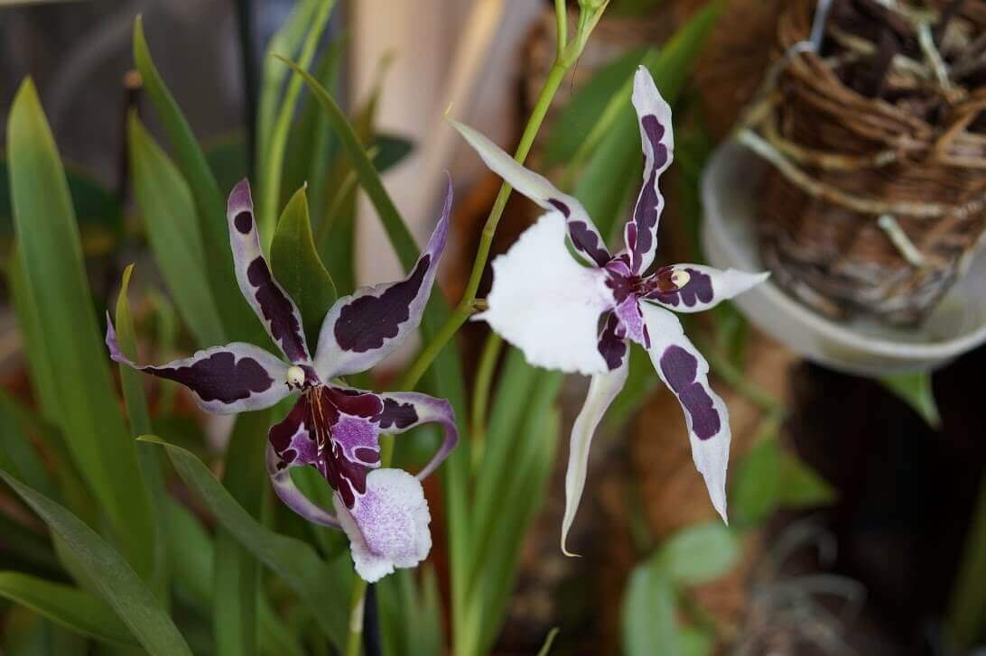 Основные роды орхидей 28