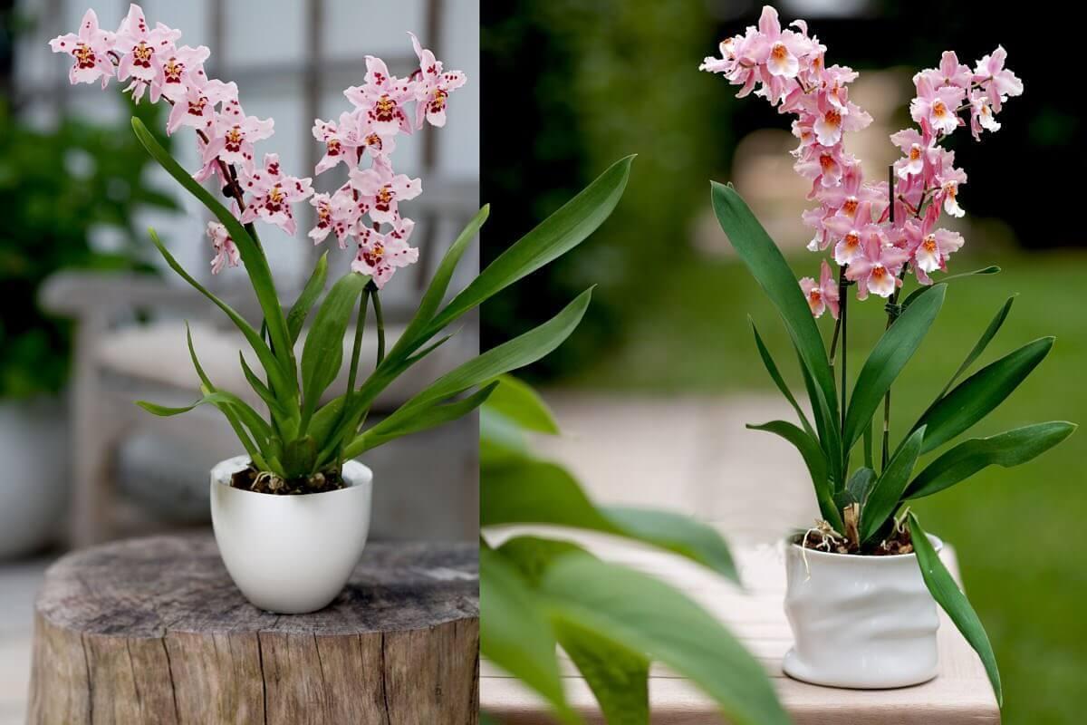 Основные роды орхидей 32