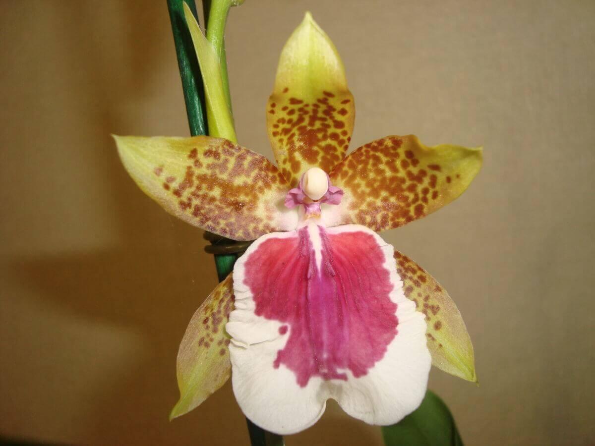 Основные роды орхидей 22