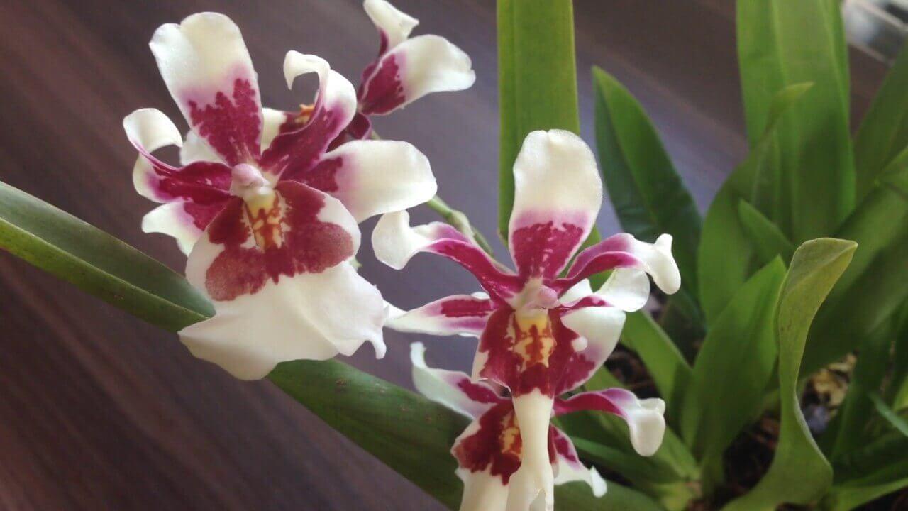 Основные роды орхидей 20