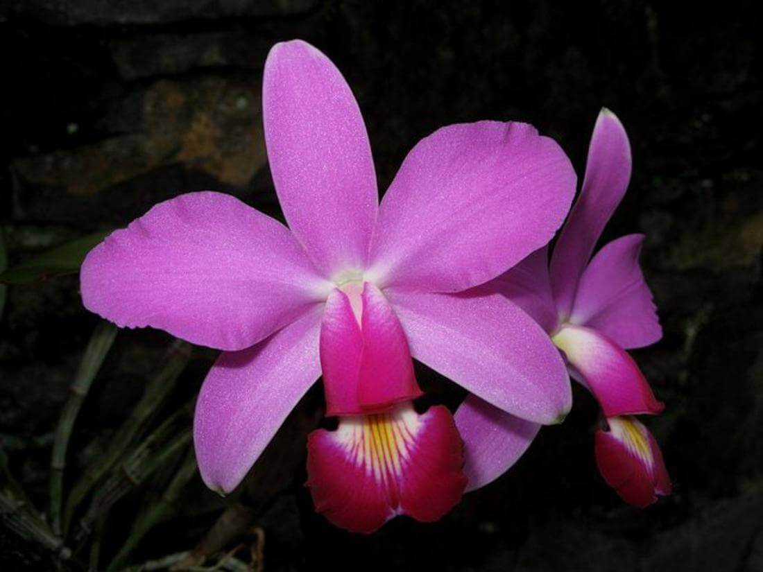 Основные роды орхидей 46