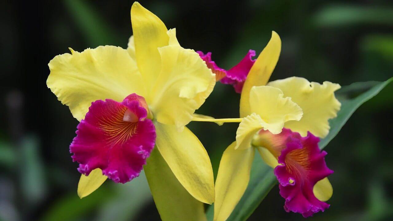 Основные роды орхидей 36