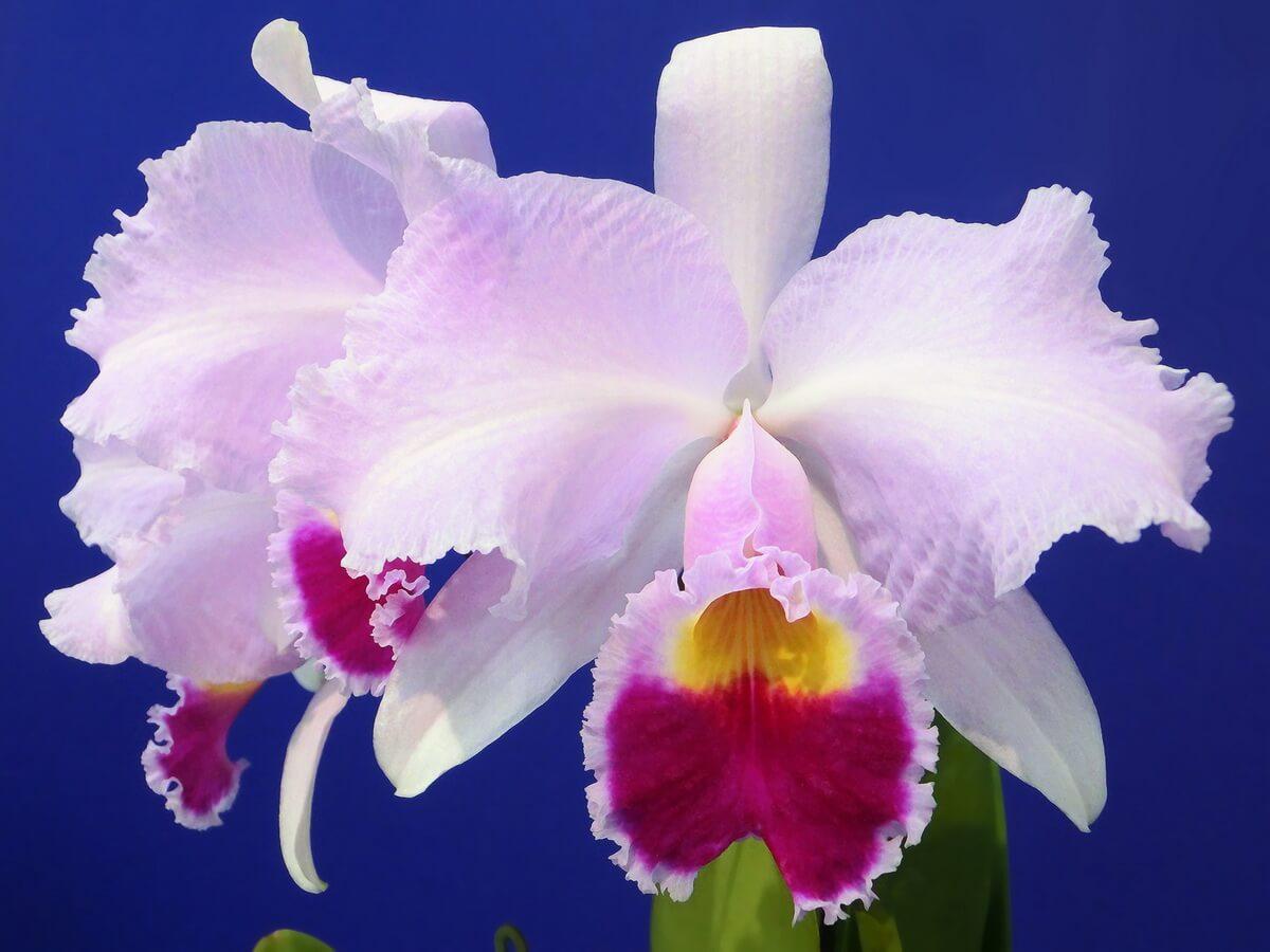 Основные роды орхидей 38