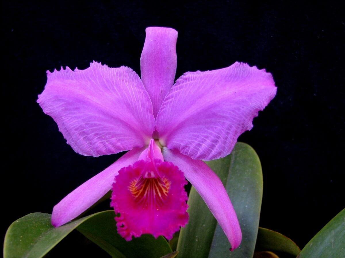 Основные роды орхидей 44